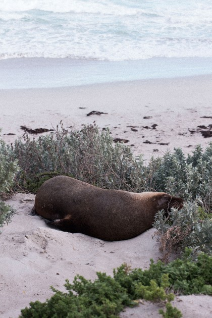 Seal Bay on Kangaroo Island, Australia