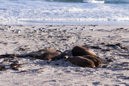 Fur Seal at Seal Bay on Kangaroo Island, Australia