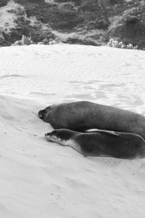Fur Seals at Seal Bay on Kangaroo Island, Australia