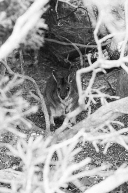 Walibi at Seal Bay on Kangaroo Island, Australia