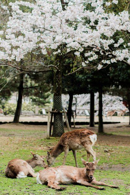 Nara Travel Diary - Japan Travel Guide, Nara Park - IheartAlice.com