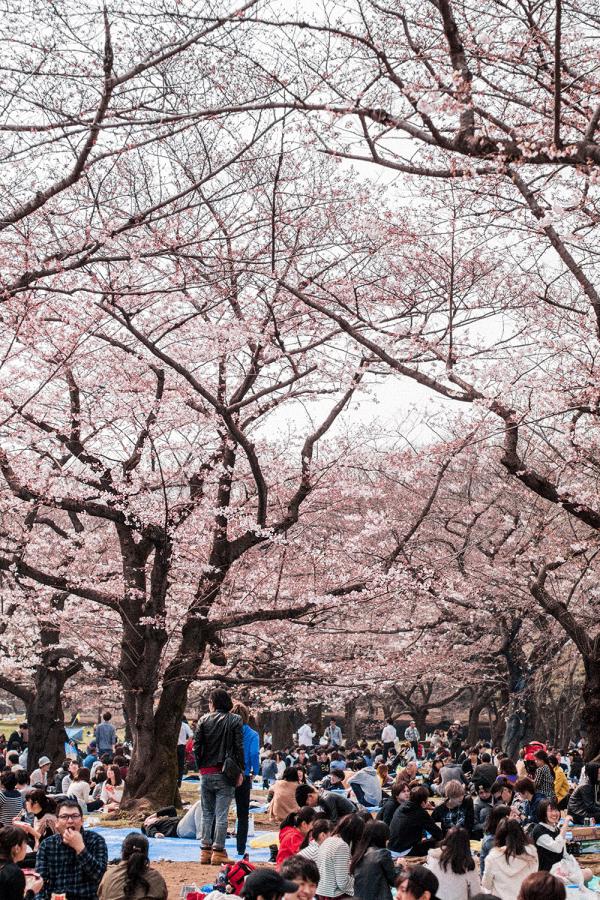 Hanami at Yoyogi Park / Sakura Season Travle Guide to Tokyo - Traveldiary & Guides by IheartAlice.com