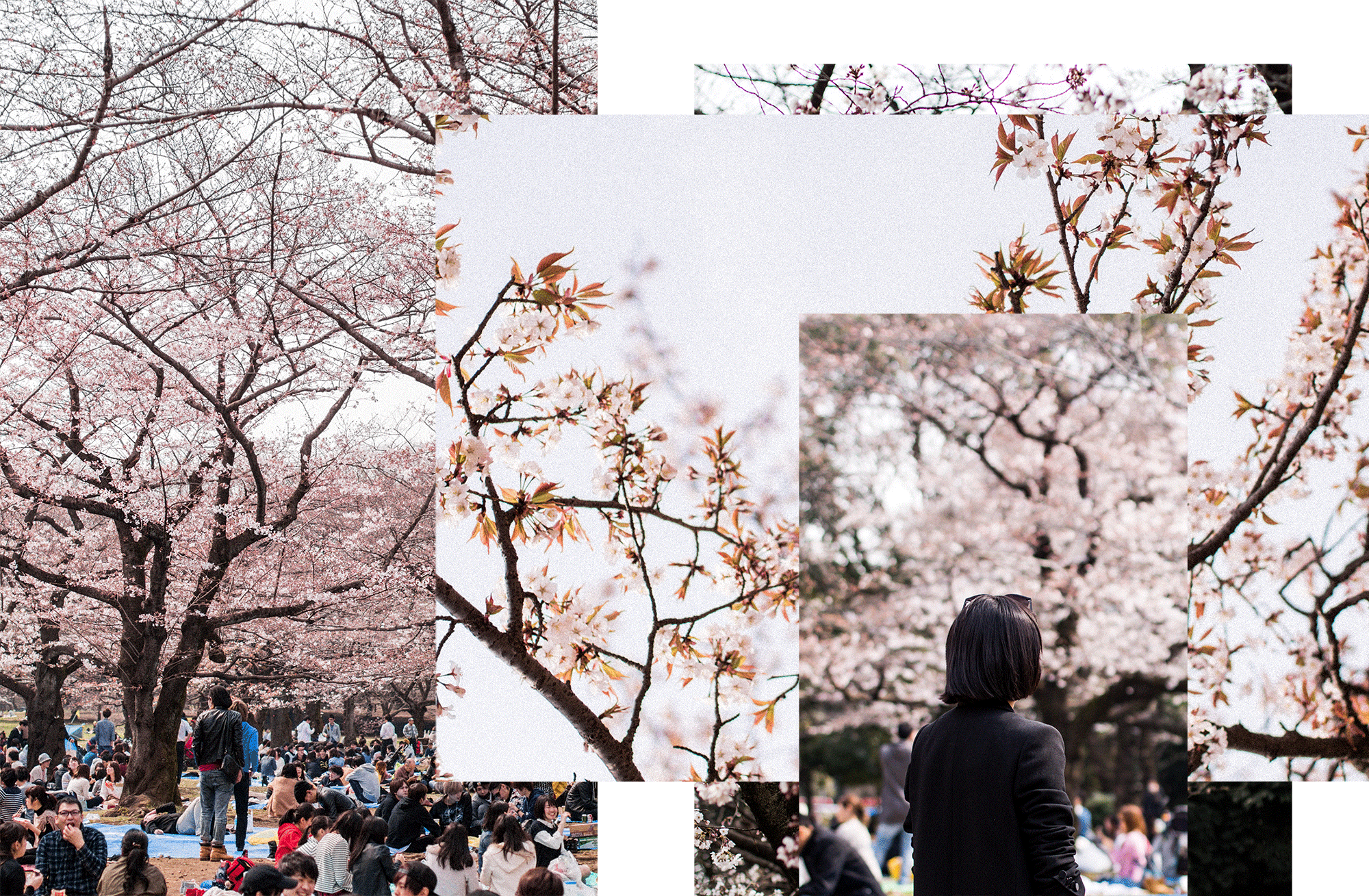 Hanami at Yoyogi Park / Sakura Season Travle Guide to Tokyo - Traveldiary & Guides by IheartAlice.com