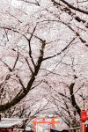 Best Hanami Sakura Spot in Kyoto: Hirano Jinja Shrine / Travel Diary & Guide by iHeartAlice.com - Travel, Food & Lifestyleblog by Alice M. Huynh
